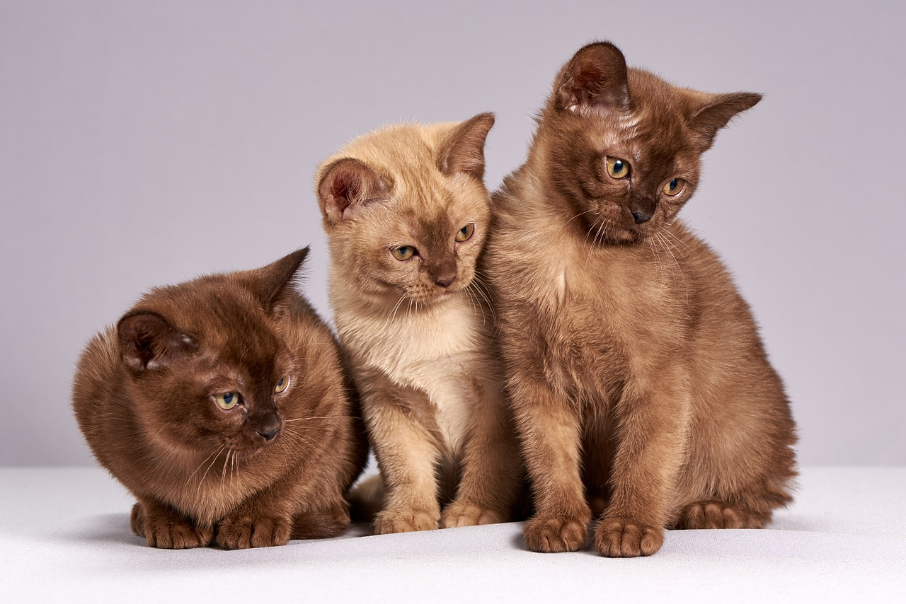 Les maladies du chaton